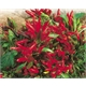 Kit Vamos Plantar Pimenta Etna Ornamental - Hot Pepper Etna Ornamental